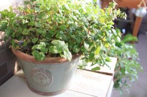 家庭菜園におすすめ!初心者の方も育てやすい3つのハーブ
